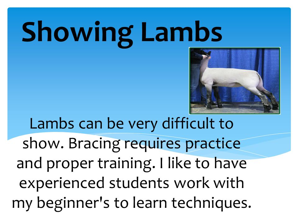 Lambs can be very difficult to show. Bracing requires practice and proper training. I like to have experienced students work with my beginner's to lea