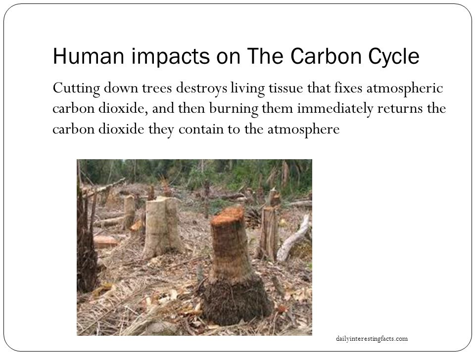 Human impacts on The Carbon Cycle Cutting down trees destroys living tissue that fixes atmospheric carbon dioxide, and then burning them immediately returns the carbon dioxide they contain to the atmosphere dailyinterestingfacts.com