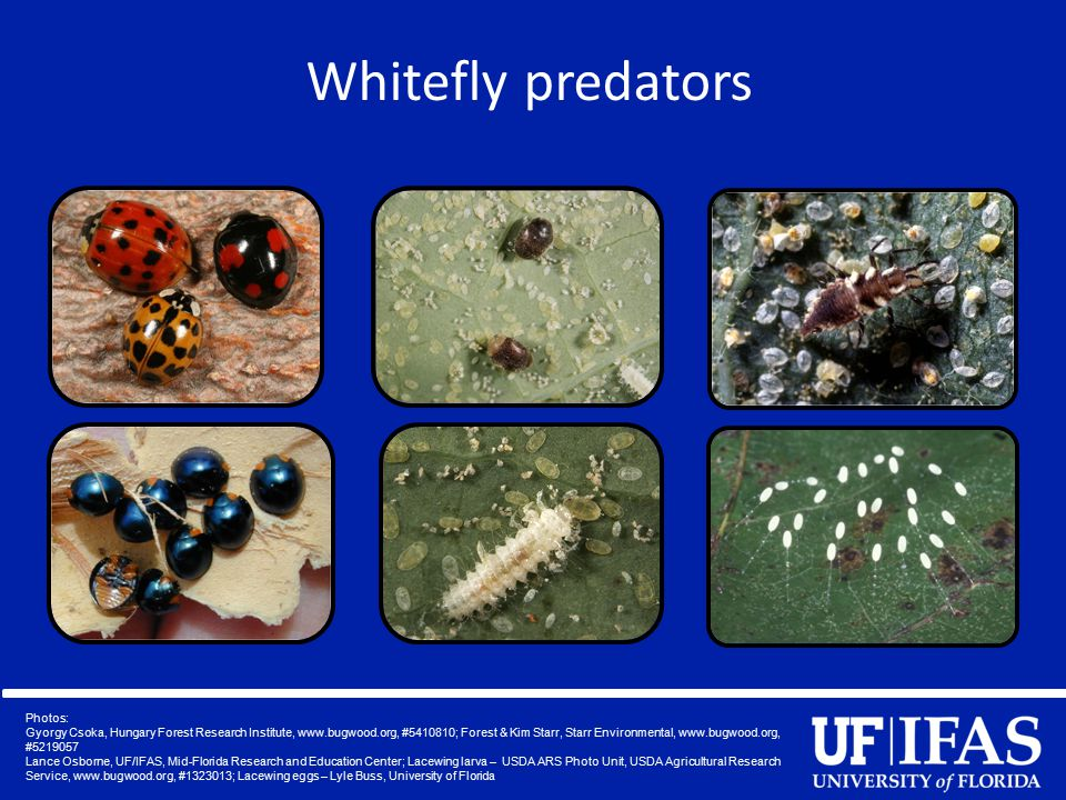 Whitefly predators Photos: Gyorgy Csoka, Hungary Forest Research Institute, www.bugwood.org, #5410810; Forest & Kim Starr, Starr Environmental, www.bu