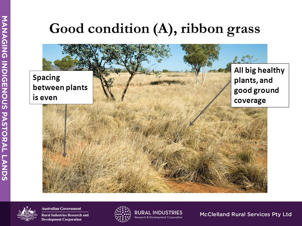 Good condition (A), ribbon grass All big healthy plants, and good ground coverage Spacing between plants is even