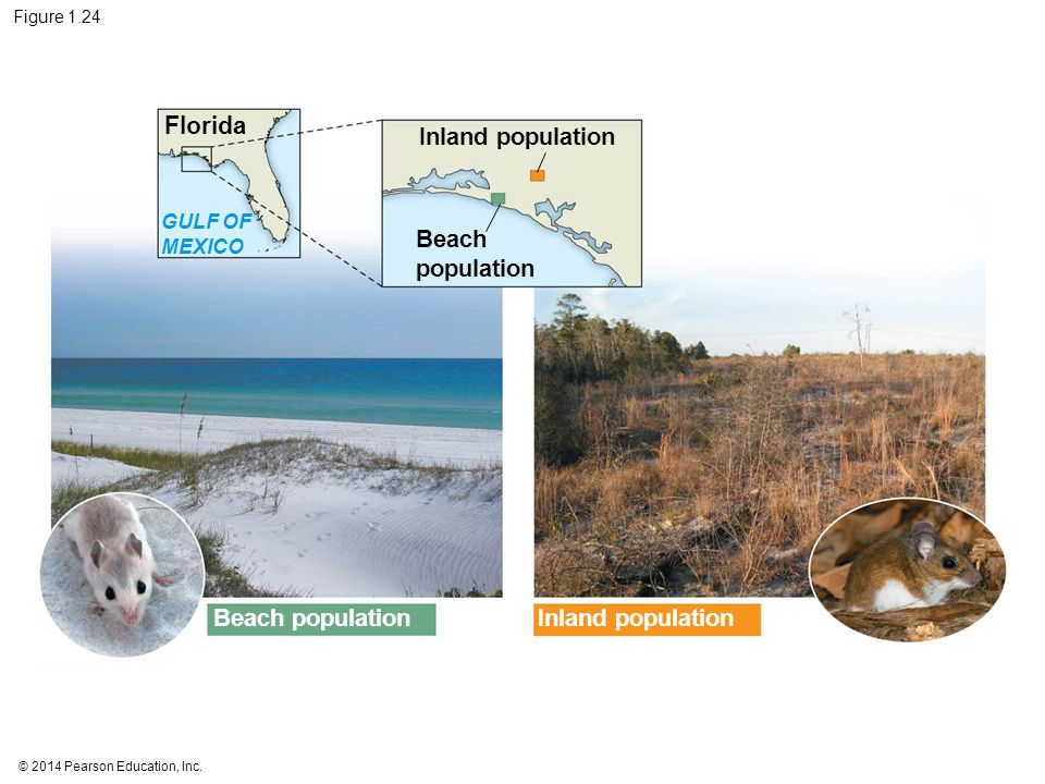 © 2014 Pearson Education, Inc. Figure 1.24 Florida Inland population Beach population GULF OF MEXICO Inland population