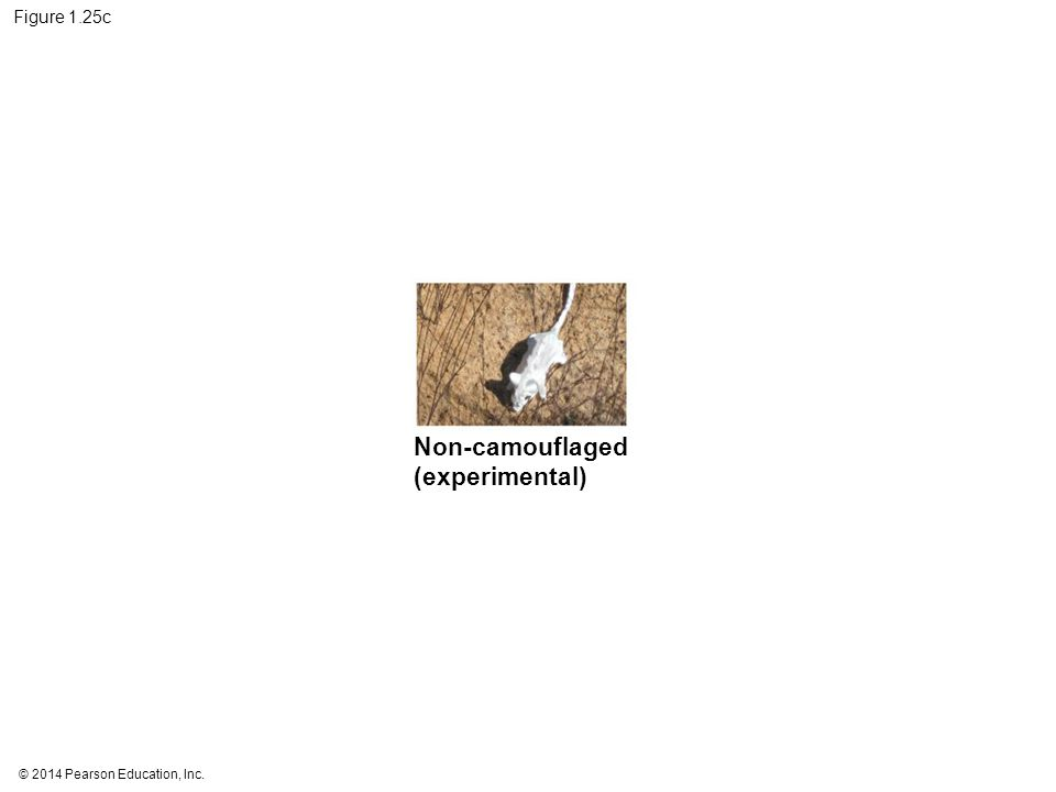 © 2014 Pearson Education, Inc. Figure 1.25c Non-camouflaged (experimental)
