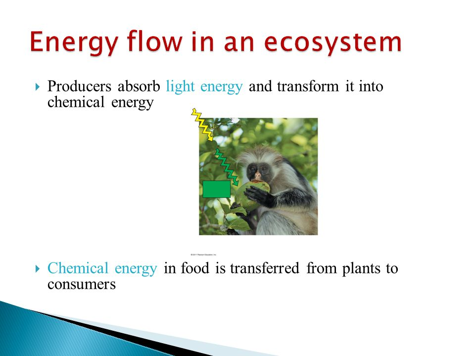  Producers absorb light energy and transform it into chemical energy  Chemical energy in food is transferred from plants to consumers