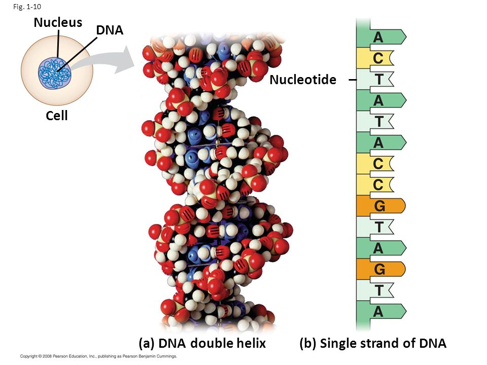 Fig. 1-10 Nucleus DNA Cell Nucleotide (a) DNA double helix(b) Single strand of DNA