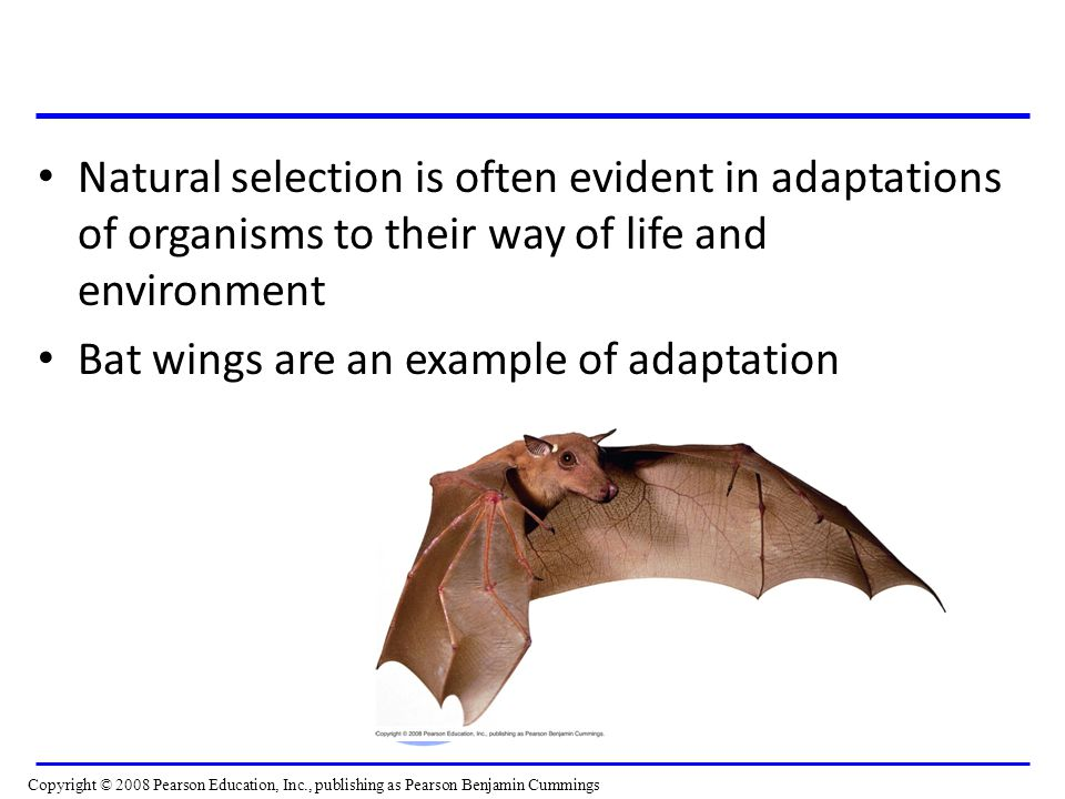 Natural selection is often evident in adaptations of organisms to their way of life and environment Bat wings are an example of adaptation Video: Soaring Hawk Video: Soaring Hawk Copyright © 2008 Pearson Education, Inc., publishing as Pearson Benjamin Cummings