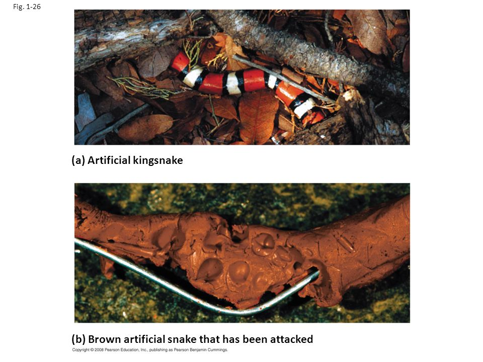 Fig. 1-26 (a) Artificial kingsnake (b) Brown artificial snake that has been attacked