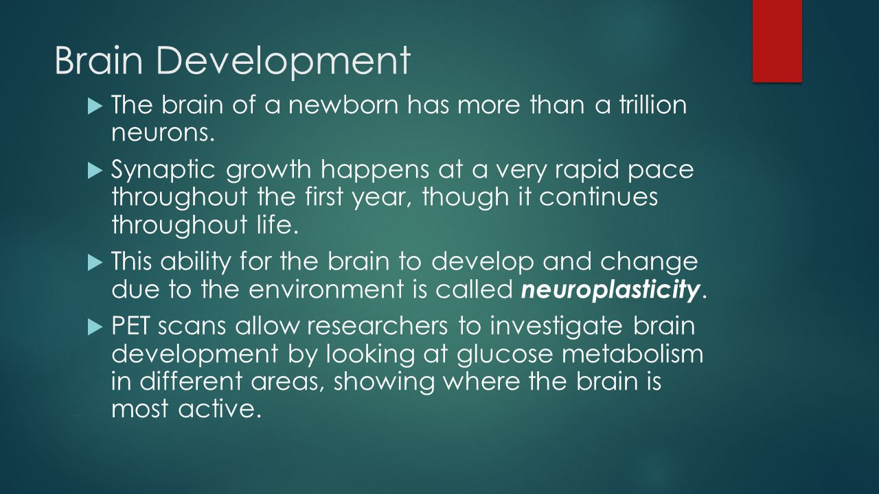 Brain Development  The brain of a newborn has more than a trillion neurons.  Synaptic growth happens at a very rapid pace throughout the first year,