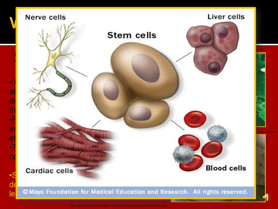 Stem cells are: WHAT ARE STEM CELLS.