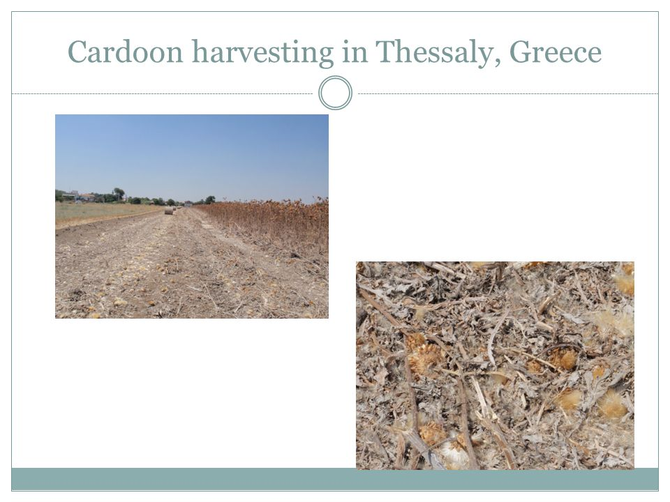 Cardoon harvesting in Thessaly, Greece