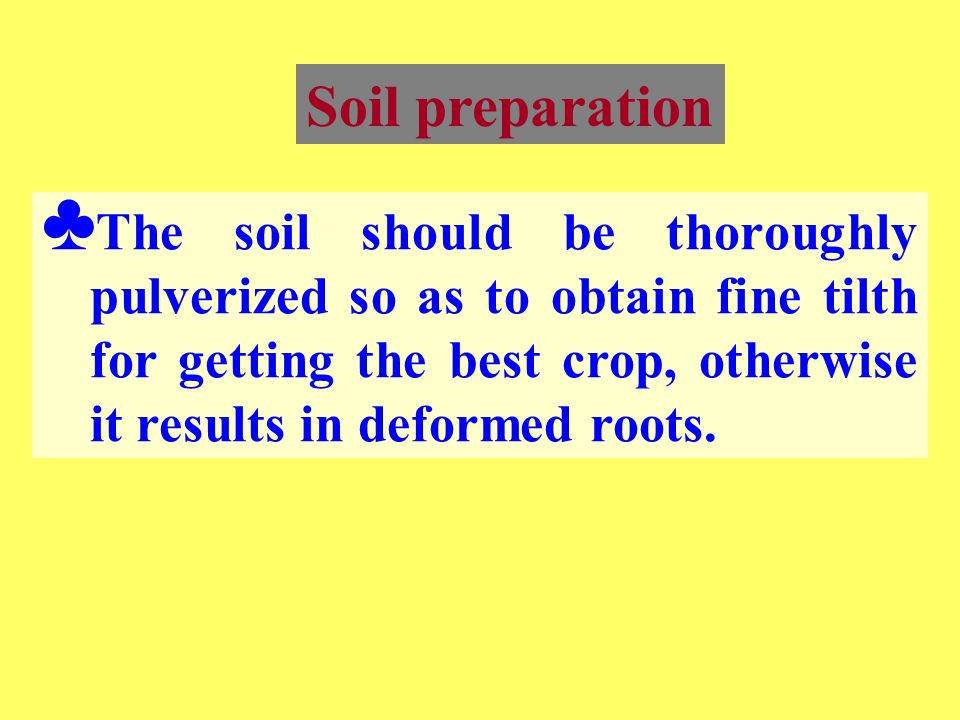 Soil preparation ♣ The soil should be thoroughly pulverized so as to obtain fine tilth for getting the best crop, otherwise it results in deformed roo