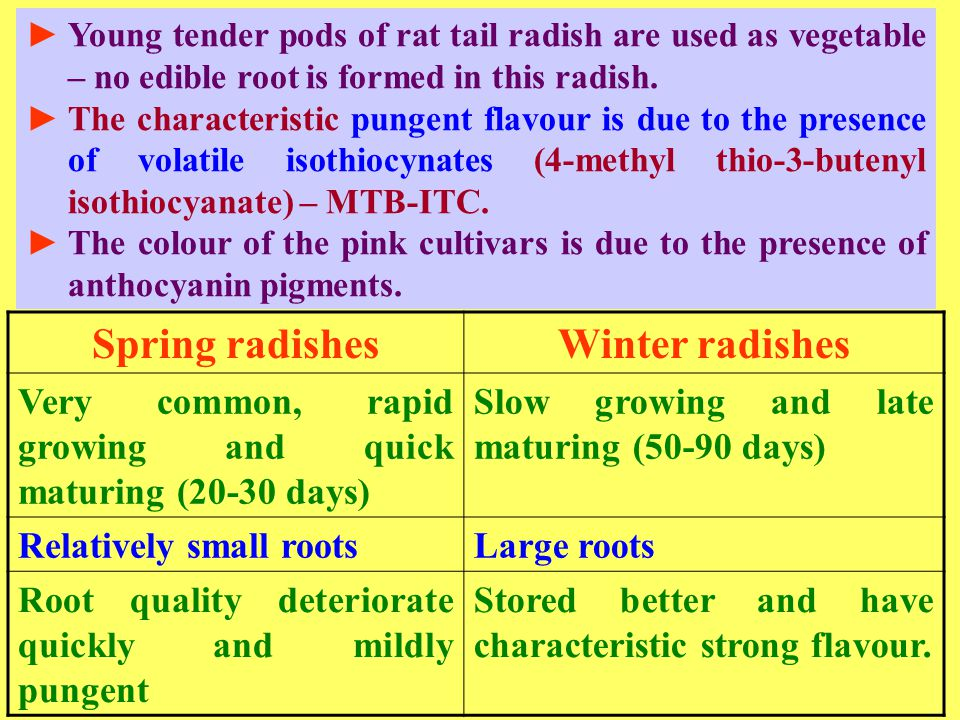 ►Young tender pods of rat tail radish are used as vegetable – no edible root is formed in this radish. ►The characteristic pungent flavour is due to t