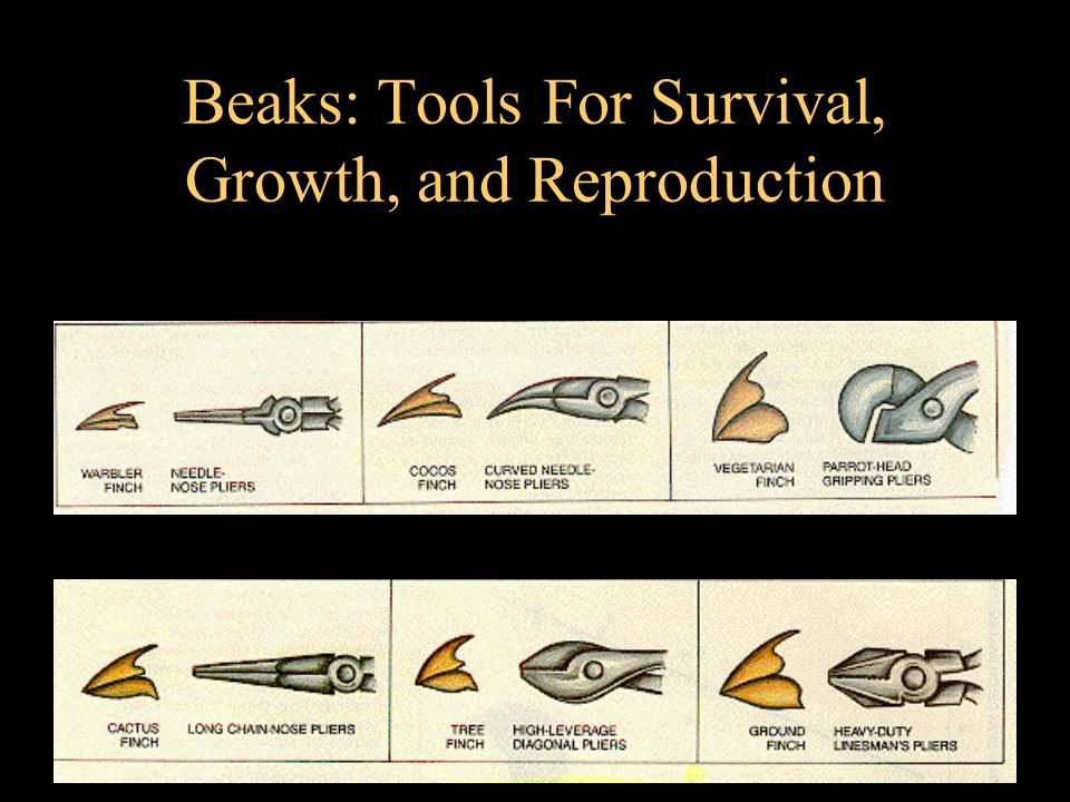 Beaks: Tools For Survival, Growth, and Reproduction