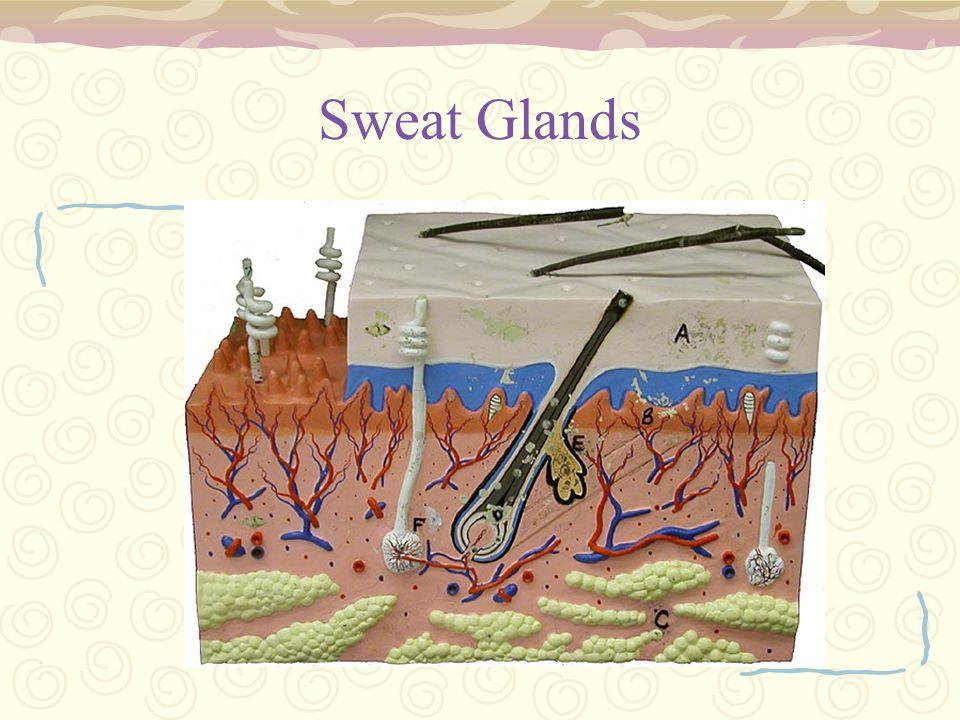 Sweat Glands