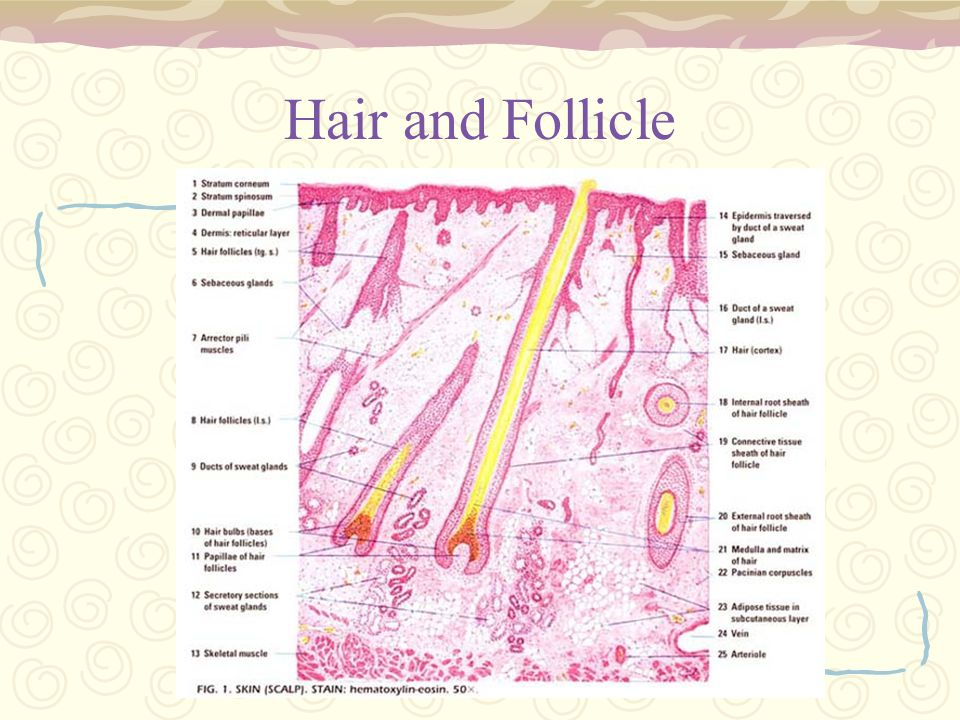 Hair and Follicle