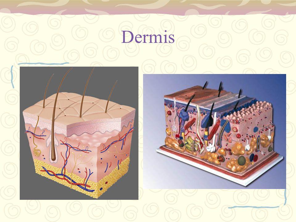 Dermis