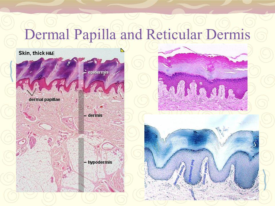 Dermal Papilla and Reticular Dermis