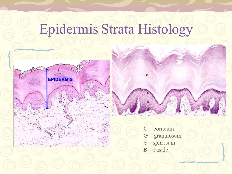 Epidermis Strata Histology C = corneum G = granulosum S = spinosum B = basale
