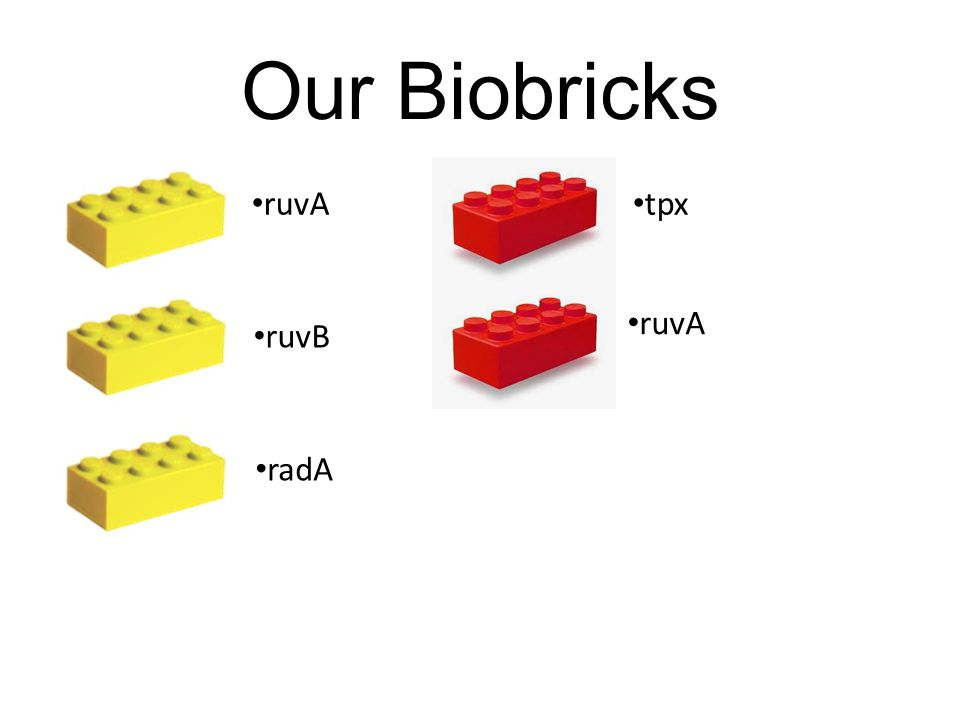 Our Biobricks ruvA ruvB radA tpx ruvA