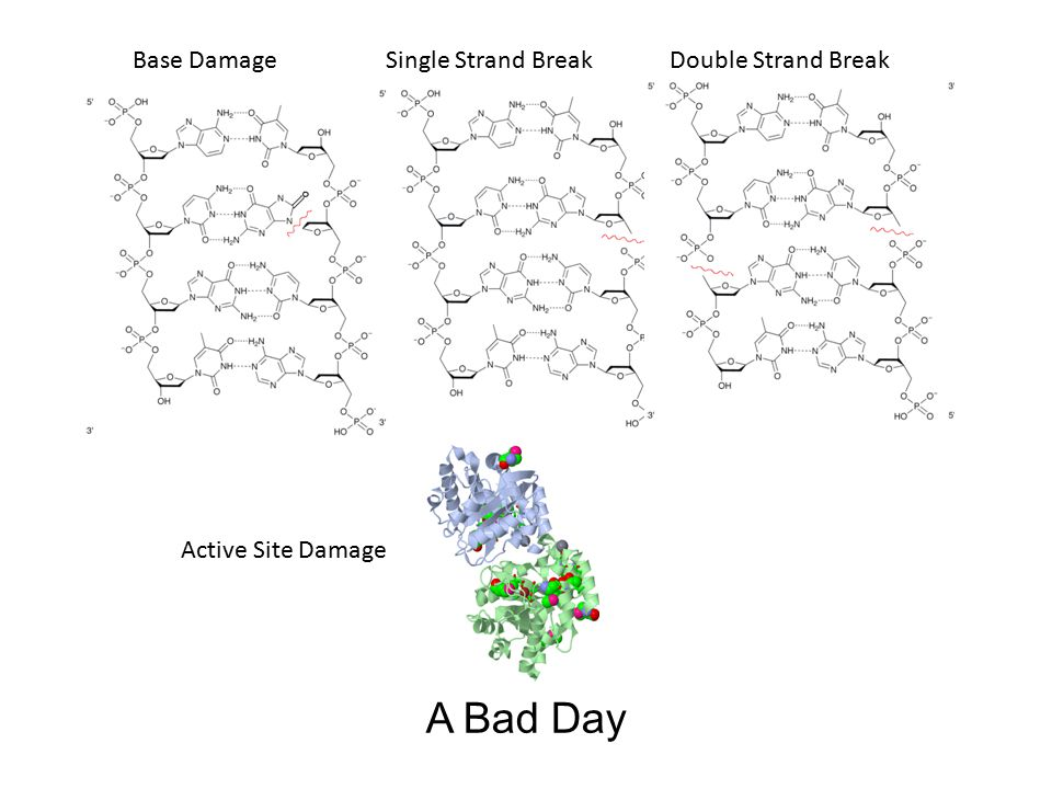 A Bad Day Base DamageSingle Strand BreakDouble Strand Break Active Site Damage