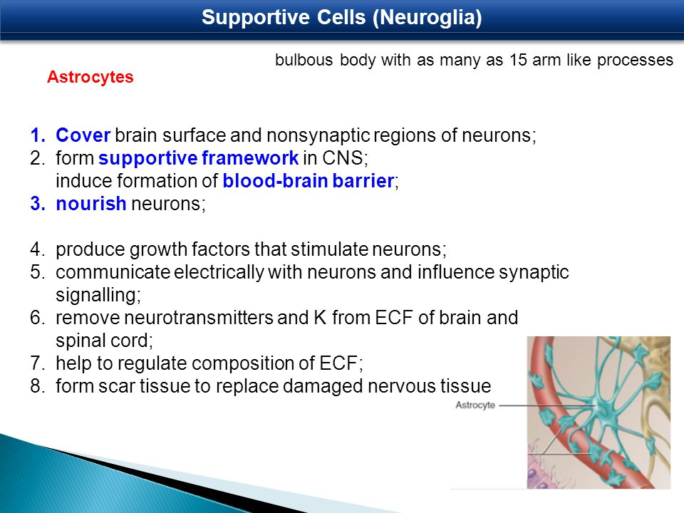 bulbous body with as many as 15 arm like processes Astrocytes Supportive Cells (Neuroglia) 1.Cover brain surface and nonsynaptic regions of neurons; 2.form supportive framework in CNS; induce formation of blood-brain barrier; 3.nourish neurons; 4.produce growth factors that stimulate neurons; 5.communicate electrically with neurons and influence synaptic signalling; 6.remove neurotransmitters and K from ECF of brain and spinal cord; 7.help to regulate composition of ECF; 8.form scar tissue to replace damaged nervous tissue
