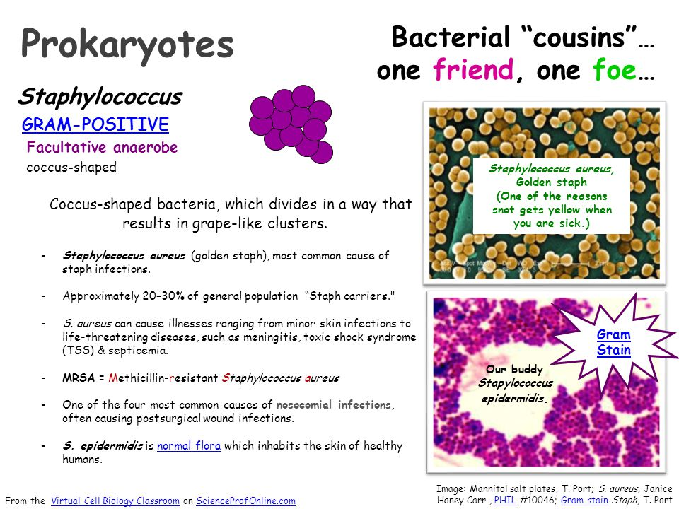 Staphylococcus GRAM-POSITIVE Facultative anaerobe coccus-shaped Coccus-shaped bacteria, which divides in a way that results in grape-like clusters. -S