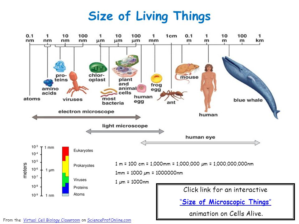 "Size of Living Things 1 m = 100 cm = 1,000mm = 1,000,000 µm = 1,000,000,000nm 1mm = 1000 µm = 1000000nm 1 µm = 1000nm Click link for an interactive ""S"