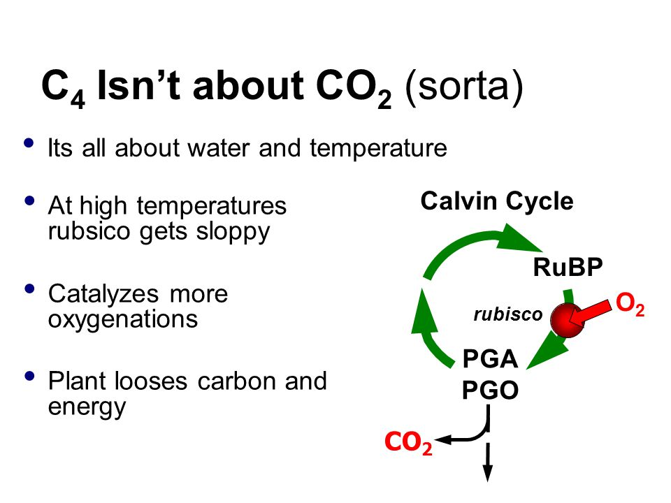 C 4 Isn't about CO 2 (sorta) Its all about water and temperature CO 2 Calvin Cycle RuBP rubisco PGA PGO O2O2 At high temperatures rubsico gets sloppy Catalyzes more oxygenations Plant looses carbon and energy
