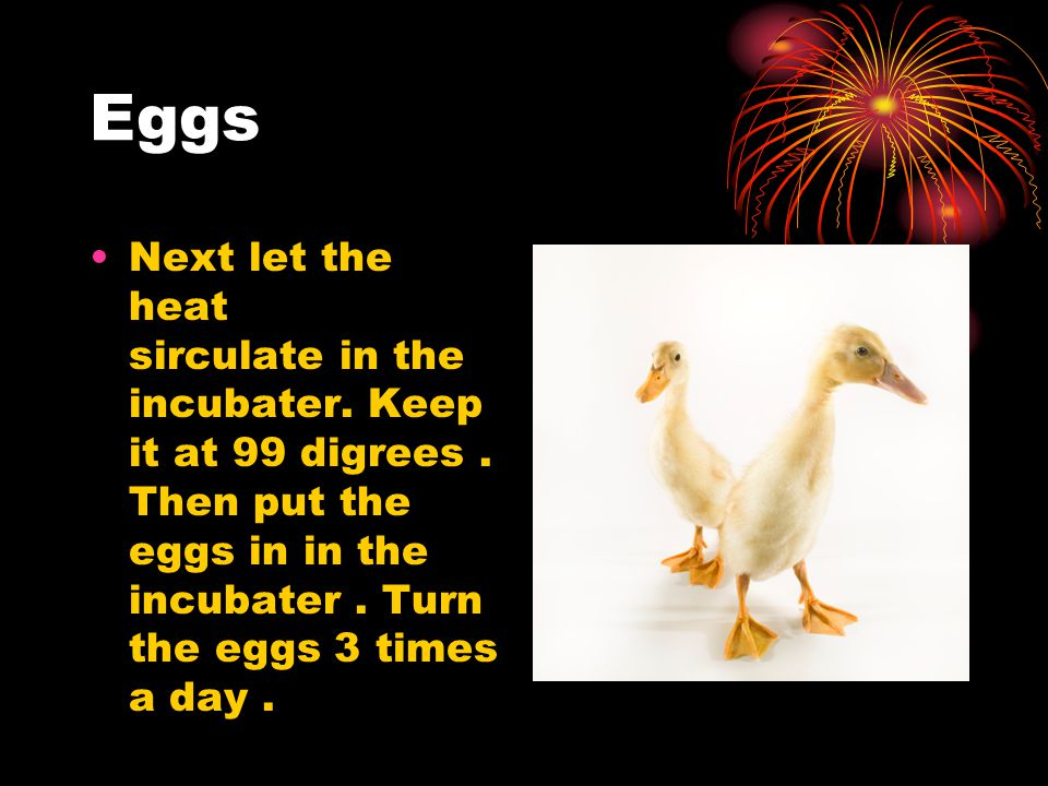 Eggs Next let the heat sirculate in the incubater. Keep it at 99 digrees. Then put the eggs in in the incubater. Turn the eggs 3 times a day.