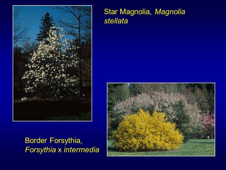 Star Magnolia, Magnolia stellata Border Forsythia, Forsythia x intermedia