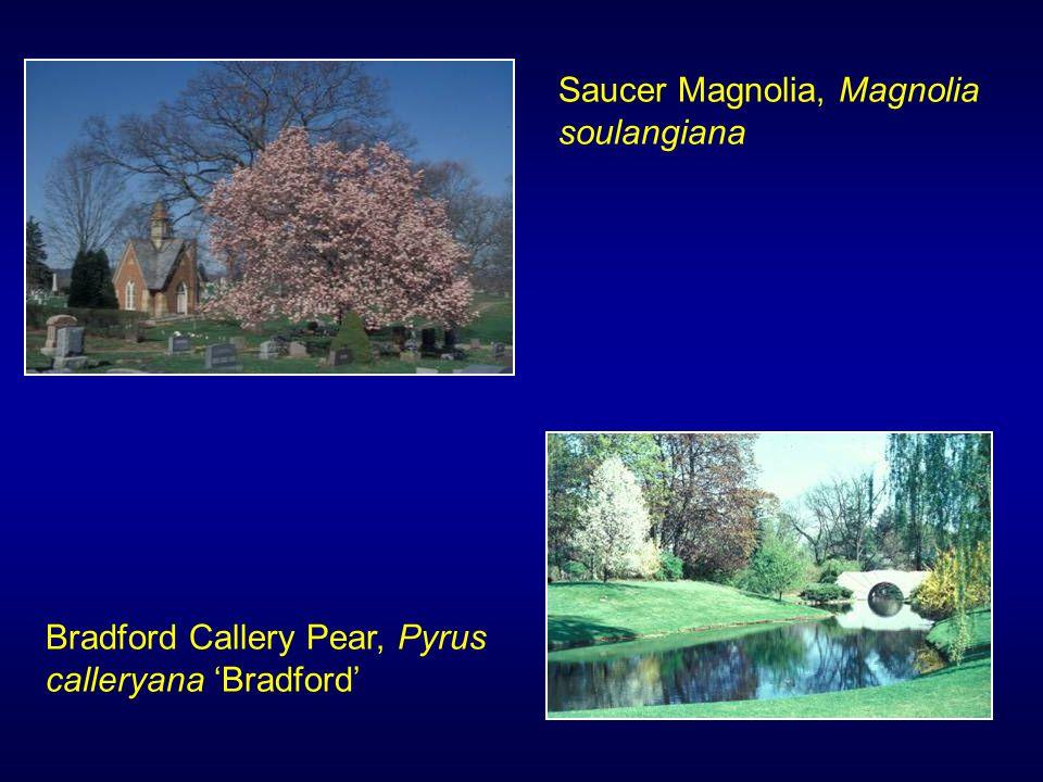 Saucer Magnolia, Magnolia soulangiana Bradford Callery Pear, Pyrus calleryana 'Bradford'