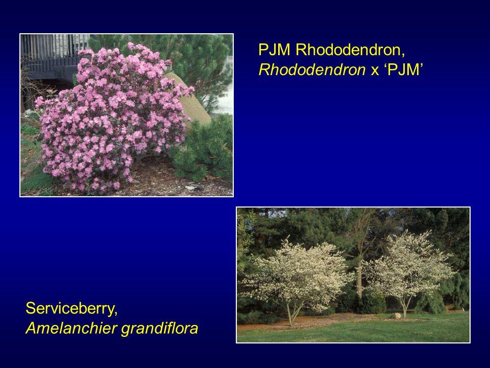 PJM Rhododendron, Rhododendron x 'PJM' Serviceberry, Amelanchier grandiflora