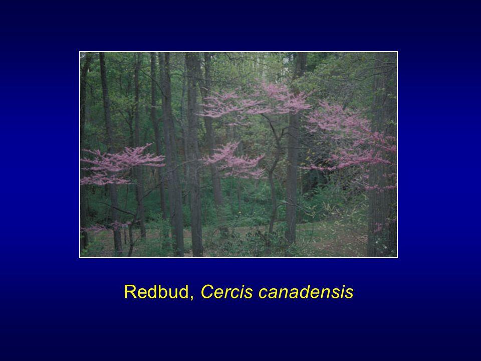 Redbud, Cercis canadensis