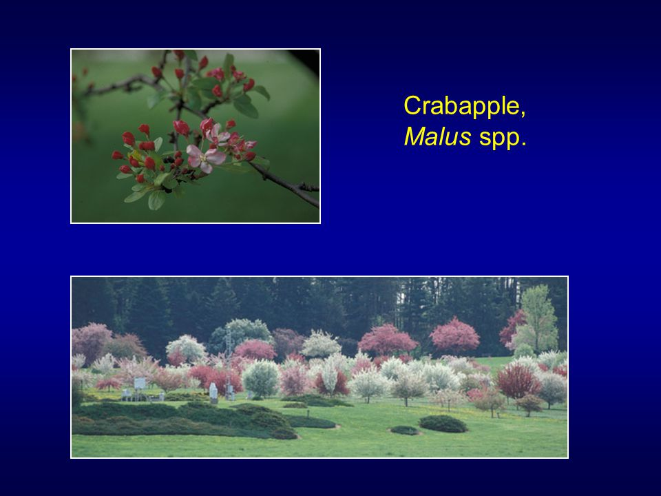 Crabapple, Malus spp.