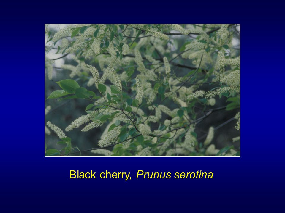 Black cherry, Prunus serotina