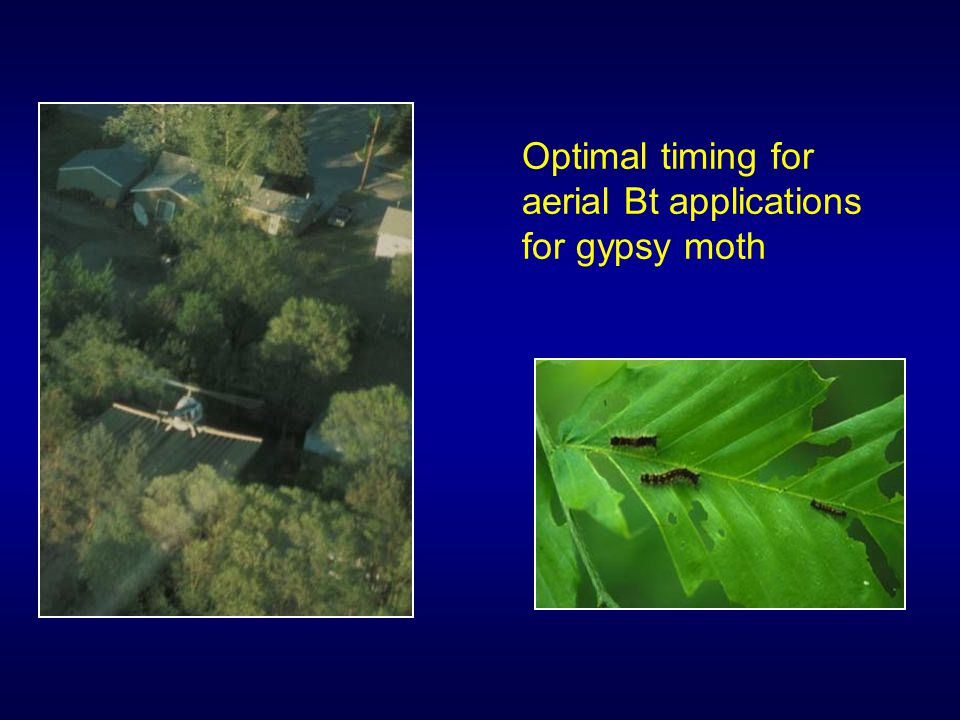 Optimal timing for aerial Bt applications for gypsy moth