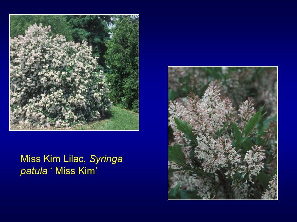 Miss Kim Lilac, Syringa patula ' Miss Kim'