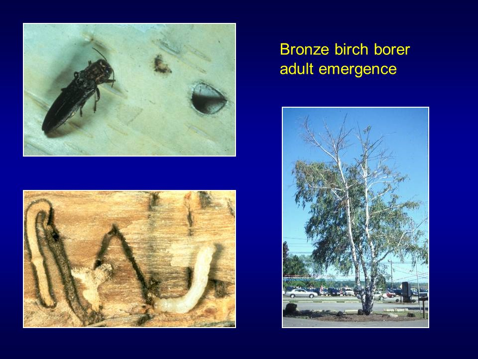 Bronze birch borer adult emergence