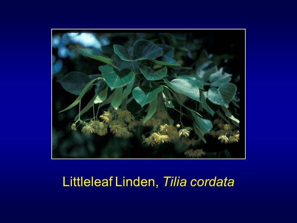 Littleleaf Linden, Tilia cordata