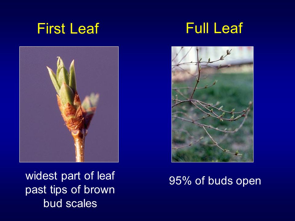 First Leaf widest part of leaf past tips of brown bud scales Full Leaf 95% of buds open