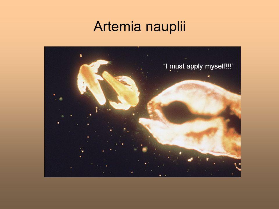 """Artemia nauplii """"I must apply myself!!!"""""""