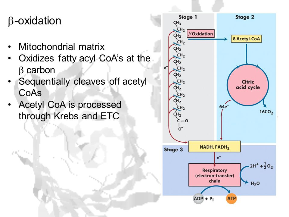  -oxidation Mitochondrial matrix Oxidizes fatty acyl CoA's at the  carbon Sequentially cleaves off acetyl CoAs Acetyl CoA is processed through Krebs and ETC