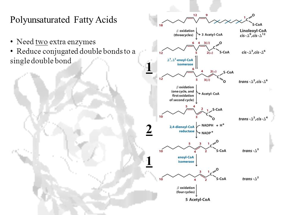 Polyunsaturated Fatty Acids Need two extra enzymes Reduce conjugated double bonds to a single double bond 1 2 1