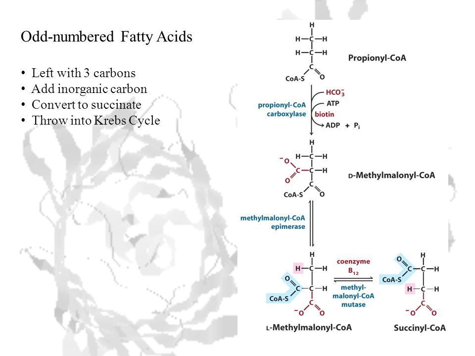 Odd-numbered Fatty Acids Left with 3 carbons Add inorganic carbon Convert to succinate Throw into Krebs Cycle