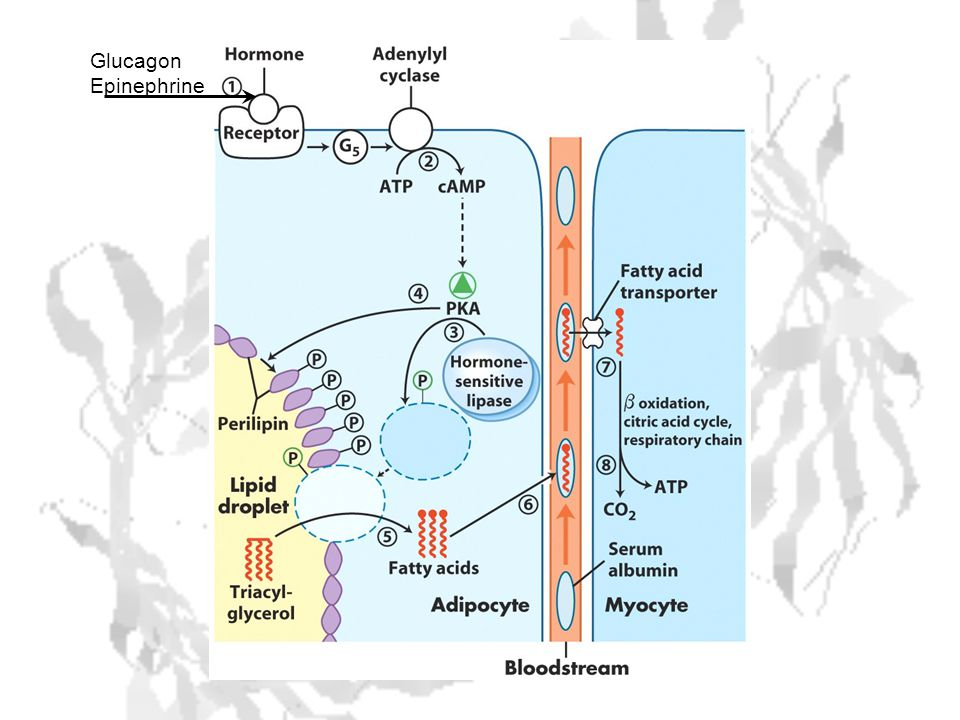 Glucagon Epinephrine