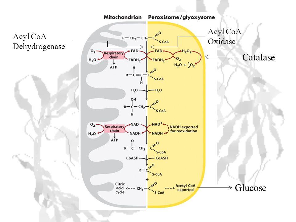Catalase Glucose Acyl CoA Dehydrogenase Acyl CoA Oxidase