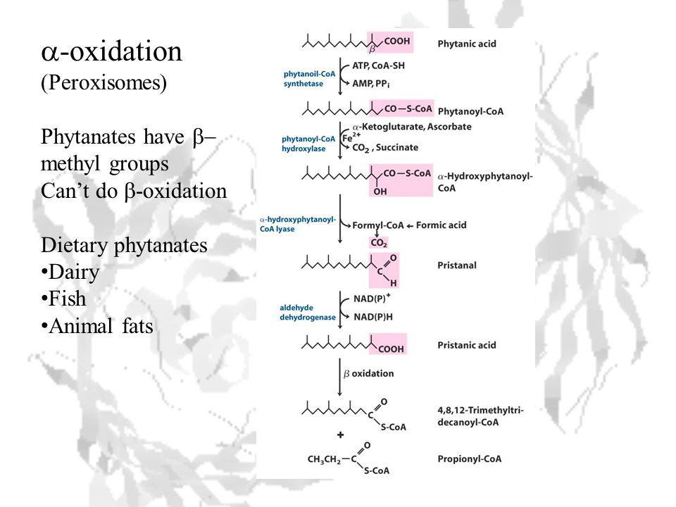  -oxidation (Peroxisomes) Phytanates have  methyl groups Can't do  -oxidation Dietary phytanates Dairy Fish Animal fats