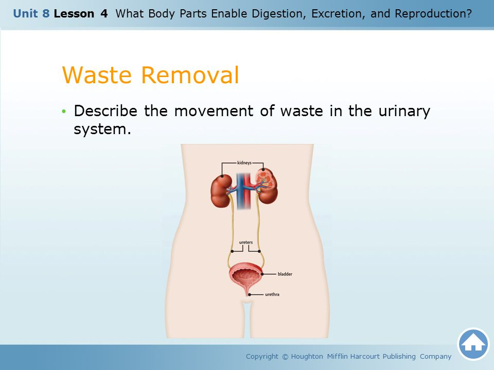 Waste Removal Copyright © Houghton Mifflin Harcourt Publishing Company Describe the movement of waste in the urinary system. Unit 8 Lesson 4 What Body