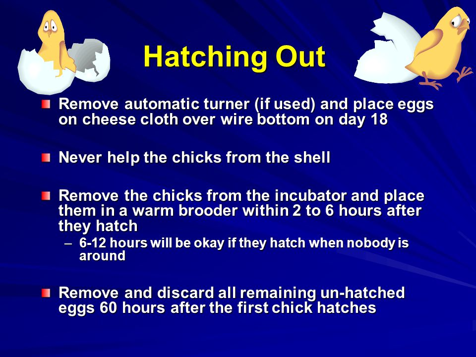 Hatching Out Remove automatic turner (if used) and place eggs on cheese cloth over wire bottom on day 18 Never help the chicks from the shell Remove the chicks from the incubator and place them in a warm brooder within 2 to 6 hours after they hatch –6-12 hours will be okay if they hatch when nobody is around Remove and discard all remaining un-hatched eggs 60 hours after the first chick hatches