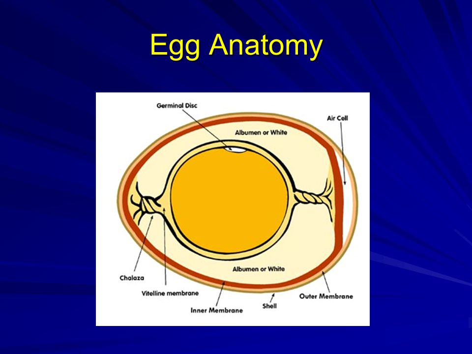 Embryonic Development Day 16 –Scales, claws and beak become firm –Albumen gone and yolk increasingly important as nutrient Day 17 –Beak turns toward air cell –Amniotic fluid decreases –Embryo begins preparation for hatching