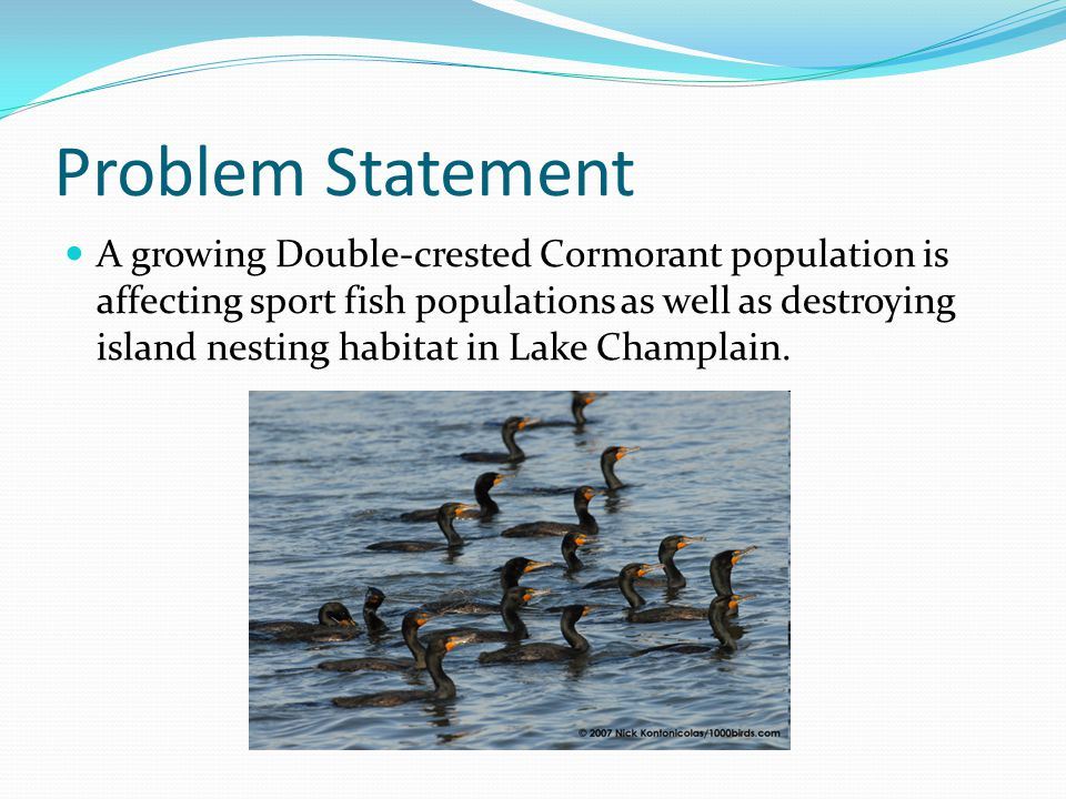 Problem Statement A growing Double-crested Cormorant population is affecting sport fish populations as well as destroying island nesting habitat in Lake Champlain.